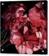 Bouganvilla Acrylic Print
