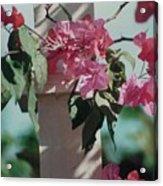 Bouganvillea Acrylic Print