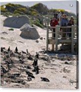 Boulders Beach Penguins Acrylic Print