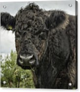 Bovine Beauty 2 Acrylic Print