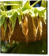 Bowing Sunflower Acrylic Print