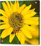 Box Elder Bug On False Sunflower Acrylic Print