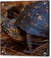 Box Turtle 2 Acrylic Print