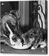 Boxer And Kitten Acrylic Print