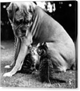 Boxer And Kittens Acrylic Print by Ray Moreton