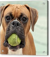 Boxer Dog Acrylic Print by Jody Trappe Photography