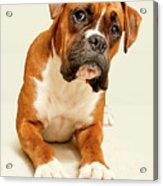 Boxer Dog On Ivory Backdrop Acrylic Print by Danny Beattie Photography