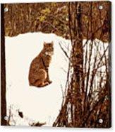 Bobcat In Snow Acrylic Print