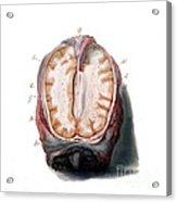 Brain, Anatomical Illustration, 1802 Acrylic Print