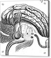 Brain And Eye, Descartes, Illustration Acrylic Print