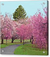 Branch Brook Cherry Blossoms II Acrylic Print
