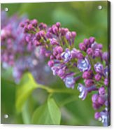 Branch Lilac Acrylic Print