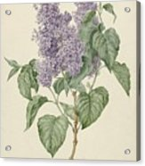 Branch With Purple Lilacs, Maria Geertruyd Barbiers-snabilie, 1786 - 1838 Acrylic Print