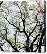 Branches Against Sky In Spring Outback Acrylic Print
