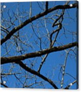 Branches Acrylic Print