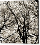 Branches Intertwined Acrylic Print