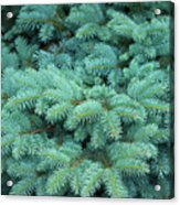 Branches Of Blue Spruce Acrylic Print