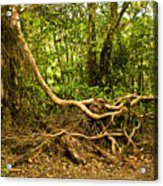 Branching Out In Costa Rica Acrylic Print