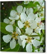 Brandy In Bud On The Pear Tree Acrylic Print