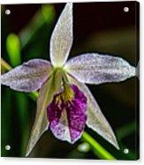 Brassocattleya Orchid Acrylic Print