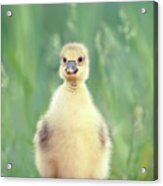Brave New Baby - Gosling Ready To Conquer The World Acrylic Print