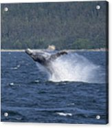 Breaching Whale Paint Acrylic Print