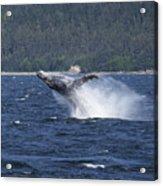 Breaching Whale. Acrylic Print