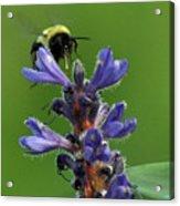 Bumble Bee Breakfast Acrylic Print