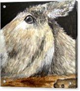 Breakout Mule Acrylic Print