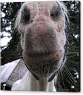 Breath Of A Kind Pony Acrylic Print
