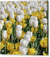 Breathtaking Field Of Blooming Yellow And White Tulips Acrylic Print