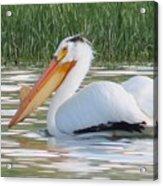 Breeding American White Pelican On Lower Sunshine Acrylic Print