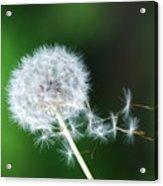 Breezy Dandelion Acrylic Print