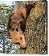 Brer Possum Acrylic Print by David Sutter