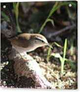 Breswick Wren On Tree Root 2 Acrylic Print