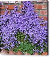 Brick Wall With Blue Flowers Acrylic Print