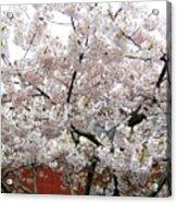 Bricks And Blossoms Acrylic Print