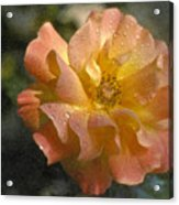 Bridal Pink Yellow Hybrid Tea Rose Genus Rosa Acrylic Print