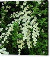 Bridal Wreath Acrylic Print