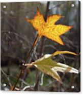 Bright And Sunlit Leaf, Arizona Acrylic Print
