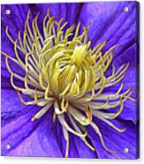 Bright Clematis Center Acrylic Print