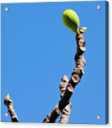 Bright Fig Against The Sky. Acrylic Print