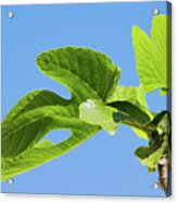 Bright Green Fig Leaf Against The Sky Acrylic Print
