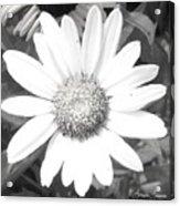 Bright In White Acrylic Print