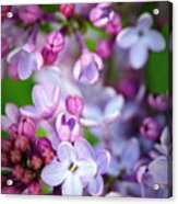 Bright Lilacs Acrylic Print by The Forests Edge Photography - Diane Sandoval