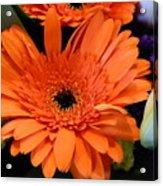 Bright Orange Daisy Acrylic Print