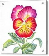 Bright Pansy Acrylic Print