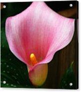 Bright Pink Calla Acrylic Print