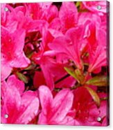 Bright Pink Rhododendrons Acrylic Print