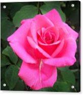 Bright-pink Rose 049 Acrylic Print